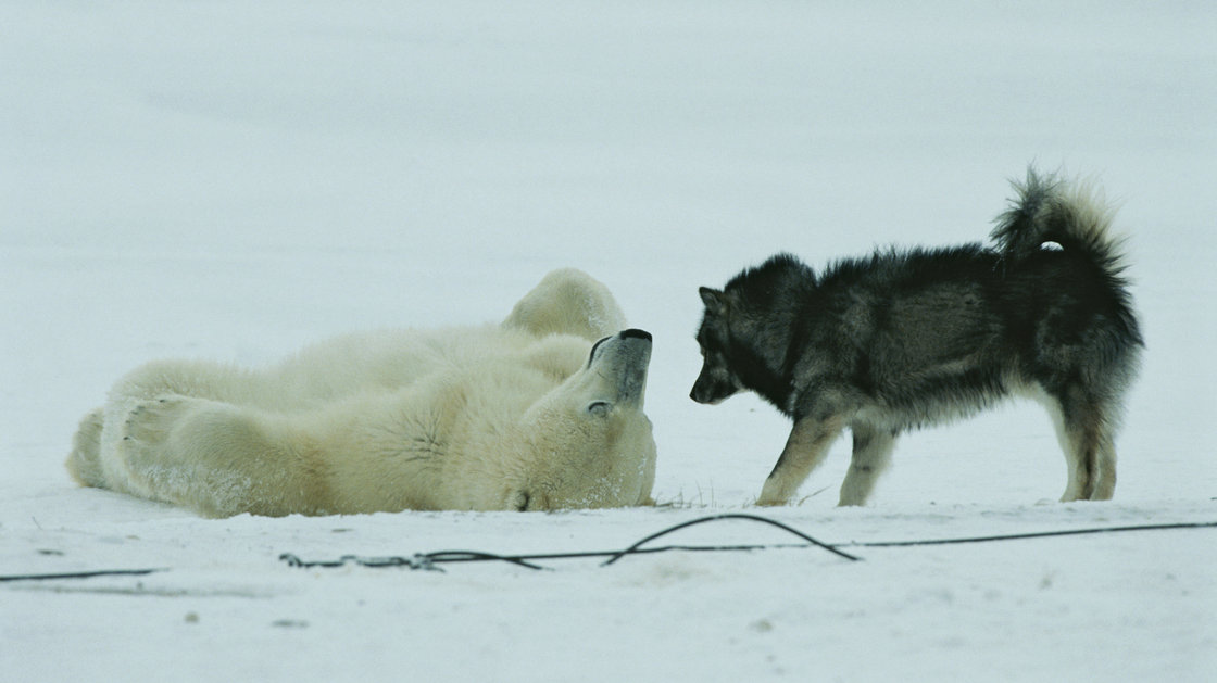 The history of the Polar Bear and the Dog